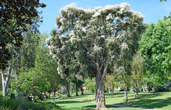 胡麻Paperbark树或Melaleuca linariifolia在拉古纳森林,加利福尼亚 免版税库存图片
