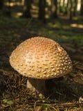 胭脂可食的欧洲蘑菇 库存照片