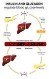 胰岛素和胰高血糖素 免版税库存照片