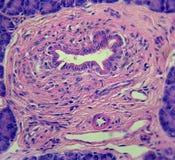 胰脏的输送管 库存图片