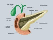 胰腺 库存例证