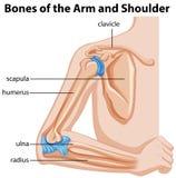 胳膊和肩膀的骨头 向量例证