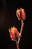 胶囊种子 免版税库存图片