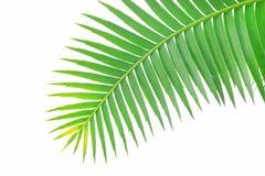 胶棕榈或巨型dioon Dioon spinulosum染色者绿色叶子白色天空的热带苏铁科的植物棕榈植物使用为背景或 库存图片