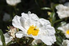 胶沙漠座莲,水犀科ladanifer 库存图片