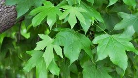 胶皮糖香树叶子 库存图片