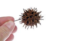 胶皮糖香树种子荚 免版税库存照片