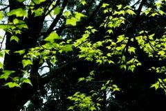 胶皮糖香树formosana胶皮糖香树formosana昂斯 免版税库存照片