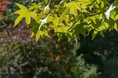 胶皮糖香树styraciflua权利浅绿色的叶子和反对太阳的上面特写镜头 免版税库存图片