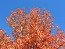 胶皮糖香树styraciflua,共同地称American sweetgum,在与它的红色,桔子和黄色叶子的秋季 免版税库存照片