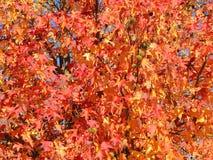 胶皮糖香树styraciflua,共同地称American sweetgum,在与它的红色,桔子和黄色叶子的秋季 图库摄影