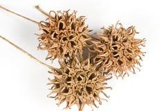 胶皮糖香树styraciflua sweetgum 图库摄影