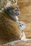 紫胶Alaotra柔和的狐猴 免版税库存图片