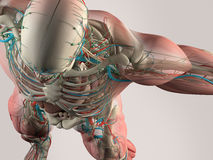 胸口和肩膀人的解剖学细节  肌肉,动脉 在简单的演播室背景 头骨和shoulde人的解剖学细节  库存例证