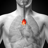 胸腺-人体器官男性解剖学- X-射线视图 库存图片
