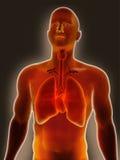 胸部感染 库存照片