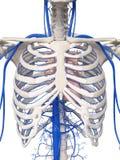 胸部静脉 库存例证