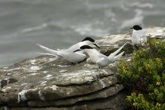 胸骨striata,白朝向的燕鸥,普纳凯基,新西兰南岛 免版税库存图片