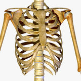 胸廓 库存照片
