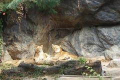 14 20能囚禁狮子狮子活超出通配年动物园 免版税库存照片