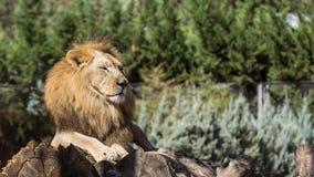 14 20能囚禁狮子狮子活超出通配年动物园 库存图片