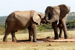 能您听见-非洲人布什大象 免版税库存图片