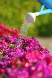 水能浇灌美丽的桃红色花 库存图片