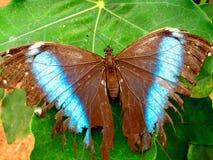 脆弱亚马逊的蝴蝶 免版税库存照片