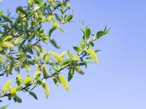 脆柳,脆弱类的柳属,开花在春天有bokeh背景,选择聚焦,浅DOF 库存图片