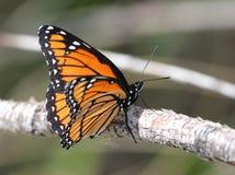 黑脉金斑蝶在东华盛顿 库存图片