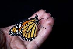 黑脉金斑蝶在手边 库存照片
