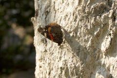 黑脉金斑蝶在橙色庭院的丹尼亚斯plexippus在秋天迁移时开花 库存照片