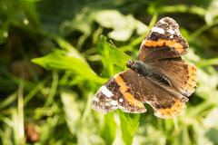 黑脉金斑蝶在橙色庭院的丹尼亚斯plexippus在秋天迁移时开花 图库摄影