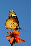 黑脉金斑蝶在蓝天下 免版税图库摄影