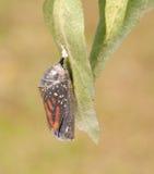 黑脉金斑蝶在eclosion前的片刻 库存照片