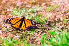 黑脉金斑蝶坐地面 库存图片