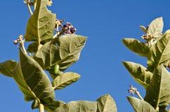 黑脉金斑蝶垂悬在冠花叶子的绿色茧 库存照片