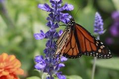 黑脉金斑蝶宏观特写镜头在紫色花的在庭院里 免版税库存图片