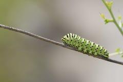 黑脉金斑蝶毛虫 免版税库存照片
