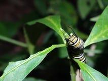 黑脉金斑蝶的毛虫 免版税库存图片