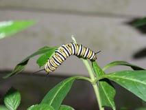 黑脉金斑蝶的毛虫 免版税库存照片