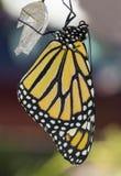 黑脉金斑蝶的特写镜头 免版税库存照片