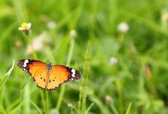 黑脉金斑蝶, (丹尼亚斯chrysippus) 免版税库存照片