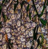 黑脉金斑蝶, Pismo海滩,加利福尼亚 免版税库存图片