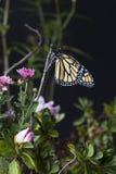 黑脉金斑蝶(丹尼亚斯plexippus)在庭院里 库存图片