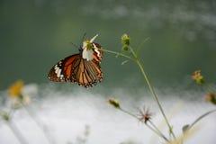 黑脉金斑蝶 免版税库存照片