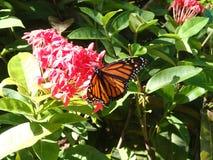 黑脉金斑蝶 库存照片