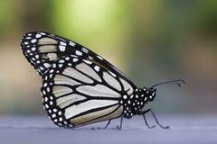 黑脉金斑蝶 免版税库存图片