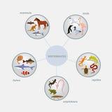 脊椎动物分类infographics 免版税库存图片