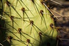 脊椎的特写镜头在一个仙人掌的 库存照片